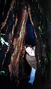 Me being stupid inside a trunk at Muir Woods.